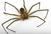 pic of fiddleback spider  - Macro shot of a brown recluse spider on white - JPG