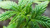 Growing Medical Marijuana Indoor Super Close-up . How To Grow Marijuana Indoors Concept poster