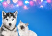 Cat And Dog Together , Neva Masquerade Kitty, Siberian Husky Puppy Look Straight Forward On Blue Spa poster