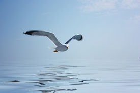 stock photo of water bird  - Flying seagull with water reflection - JPG