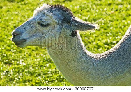 Alpaca, Vicugna Pacos Amaru