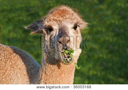 Alpaca, Vicugna Pacos