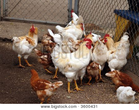 Pile Of Chickens
