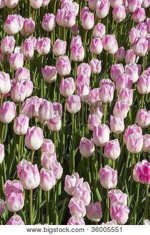 Rosy Tulips