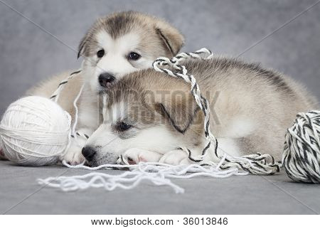 Two Malamute Puppies With A Clew