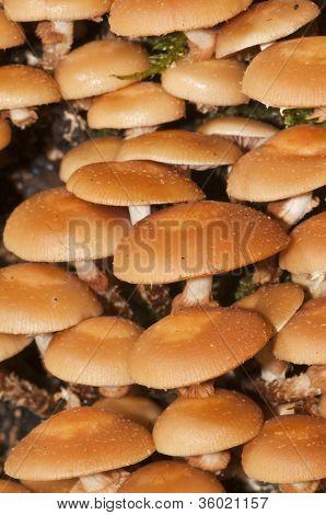 Velvet foot Mushroom