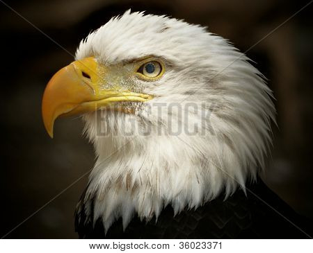 Adult Male Bald Eagle, Haliaeetus leucocephalus