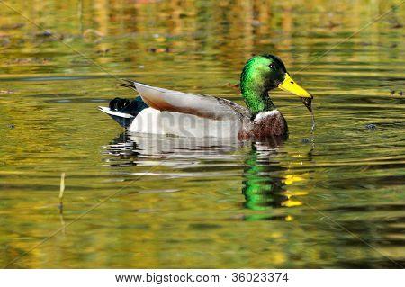 Adult Male Mallard Duck, Anas platyrhynchos