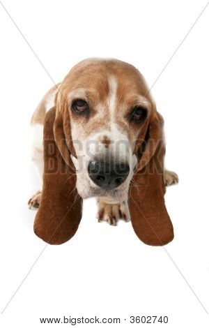 Basset Hound Portrait Taken From Above