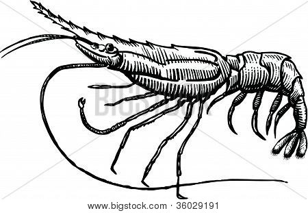 A Drawing Of A Spot Prawn