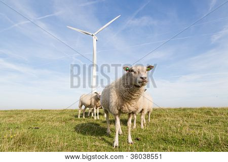 Big Windmill And Sheep In The Netherlands