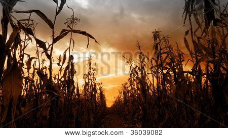 Scary Field Of Corn Stalks Silhouetted Against Threatening Dark Clouds