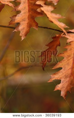 Closeup Of Red Oak Leaves In Autumn With Blur Background