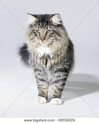 Tabby Norwegian Forest Cat