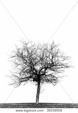 Single Leafless Crabapple Tree