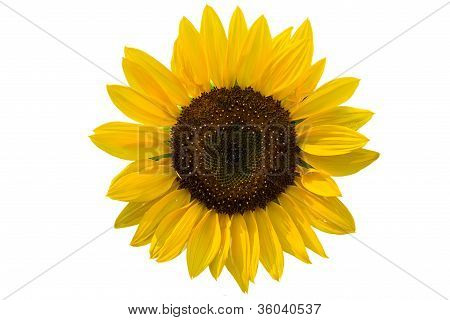 Summer Decorative Sunflowers
