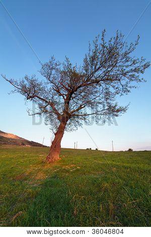 Hornbeam Tree At Sunset