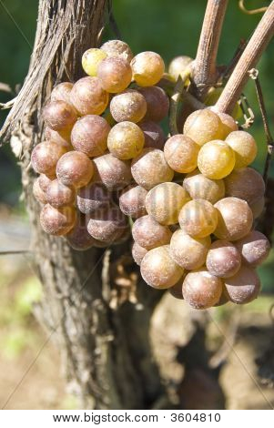 Wine Grapes (Pinot Gris/Grigio) In A Vineyard