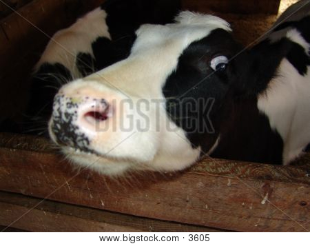 Crazy Cow poster