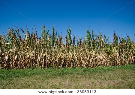 Cornfield Damaged By Drought