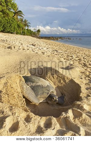 Green turtle on the beach.