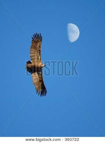 Moon Vulture