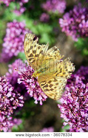 Comma Butterfly Resting On Purple Flowers