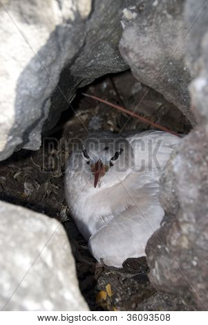 Juvenile Red-tailed Tropicbird
