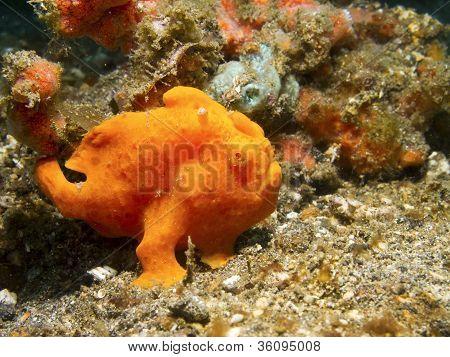Orange lackiert Anglerfisch.