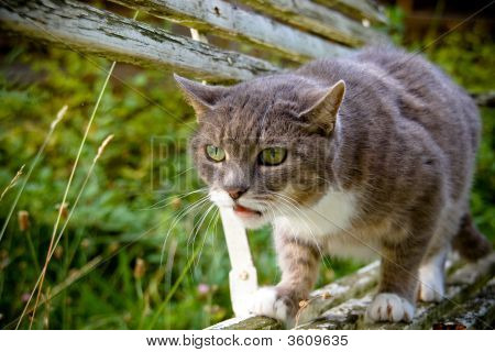 Cat Ready To Attack