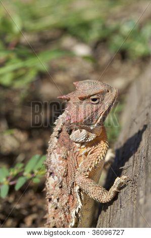 Arizona Horned Toad