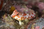 Juvenile Starry Dragonet