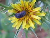 image of woodlouse  - black woodlouse sitting in a yellow flower - JPG