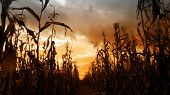 stock photo of long distance  - Long rows of tall dried corn stalks with distant vanishing point silhouetted against a dramatic orange sunset. Wide angle horizontal format.