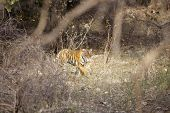 stock photo of tigress  - The stalking tigress - JPG