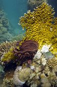 pic of fire coral  - coral reef with fire coral and sea sponge - JPG