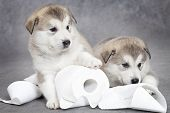 foto of laughable  - One month old alaskan malamute puppies with toilet paper - JPG