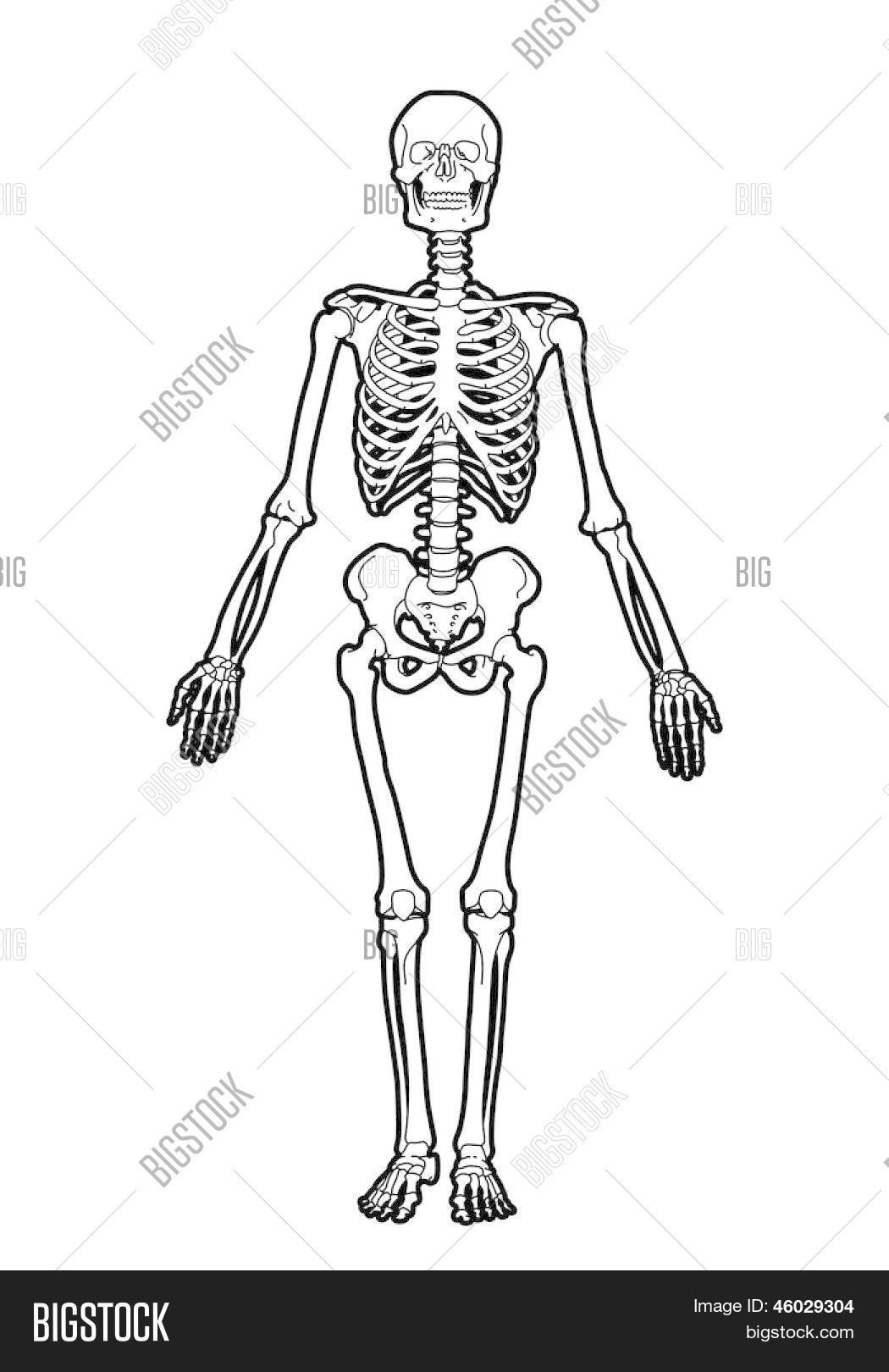outline human skeleton on white background stock vector & stock, Skeleton
