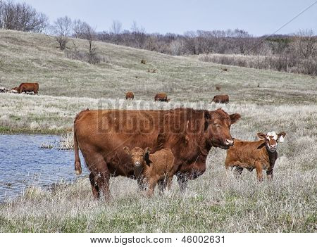 Red angus cow with calves