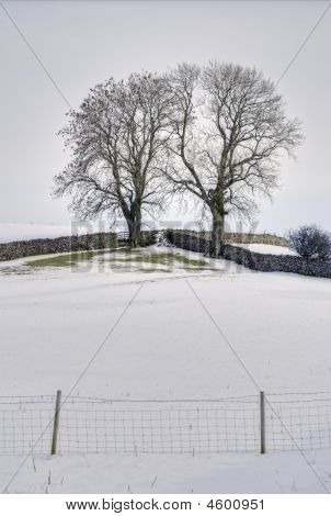 Snow, Fields, Drystone Walls And Two Trees