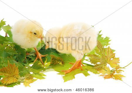 tender live little baby chicken isolated on white background on green leaves