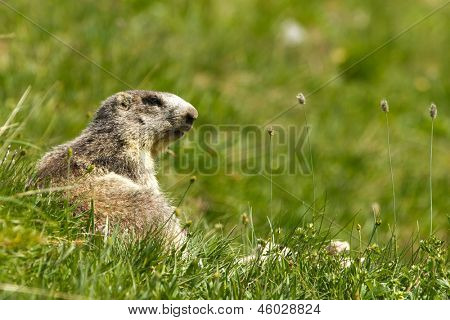 marmot in the alps in summer