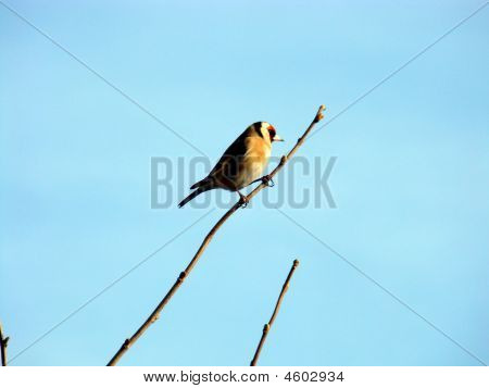 European Goldfinch,carduelis Carduelis