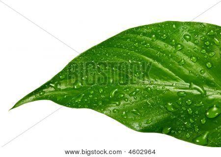 Green Leafs #5