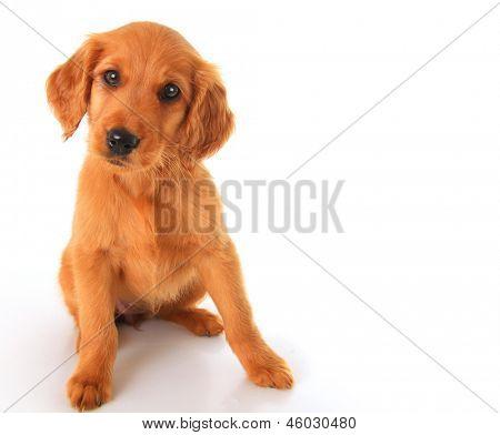 A golden Irish/ red Retriever puppy. A hybrid between a golden retriever and an Irish setter.