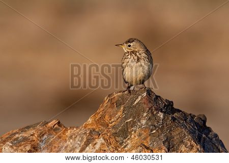 American Pipet (anthus Rubescens)
