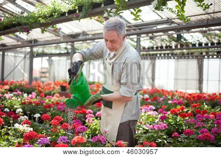 Portrait of a greenhouse worker watering plants