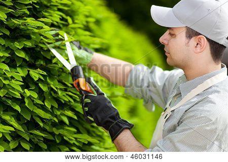 Professional gardener pruning an hedge