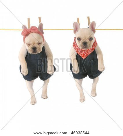 cute french bulldog puppies hanging out on the clothes line isolated on white background - 10 weeks old