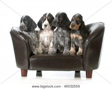litter of puppies - four english cocker spaniel puppies sitting on a couch isolated on white background - 7 weeks old